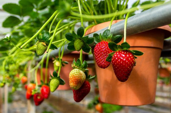 Melawat kebun strawberi di Cameron Highlands
